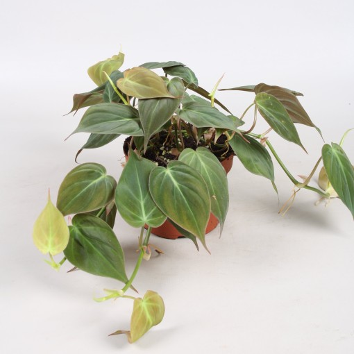 Philodendron scandens micans (Vireõ Plant Sales)
