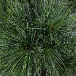 Pinus strobus 'Minima' (Bremmer Boomkwekerijen)