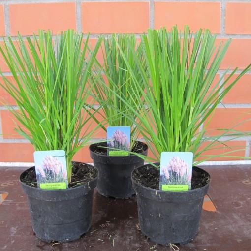 Cortaderia selloana 'Rosea' (Experts in Green)
