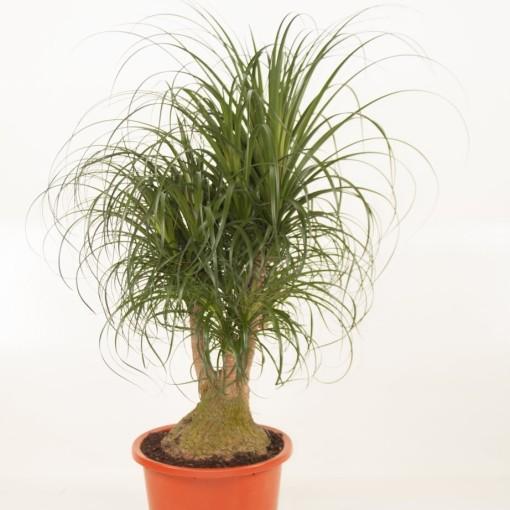 Beaucarnea recurvata (Ammerlaan, The Green Innovater)
