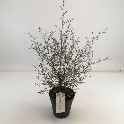 Corokia 'Maori Silver' (Special Plant Zundert)