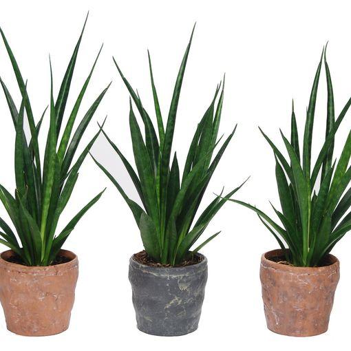 Sansevieria kirkii FRIENDS (Van der Arend Tropical Plantcenter)