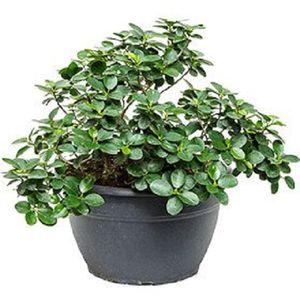 Ficus retusa 'Panda'