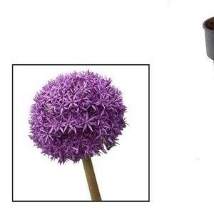Allium 'Globemaster' (Vreugdenhil Bulbs & Plants)
