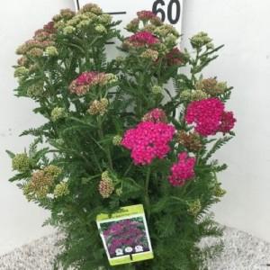 Achillea millefolium NEW VINTAGE ROSE