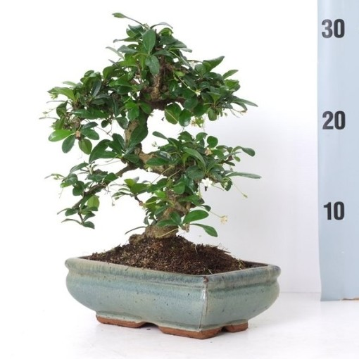 Carmona microphylla (Trendy Bonsai BV)