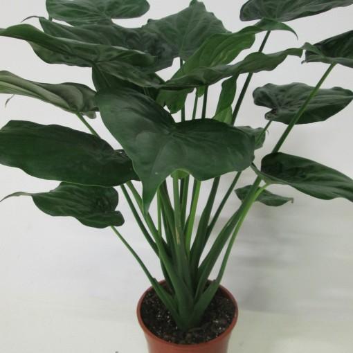 Alocasia cucullata (JM plants)