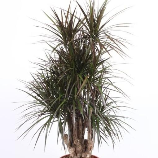 Dracaena marginata 'Magenta' (Fachjan)