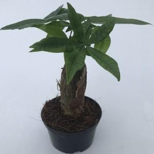 Pachira aquatica (M&M Garden)