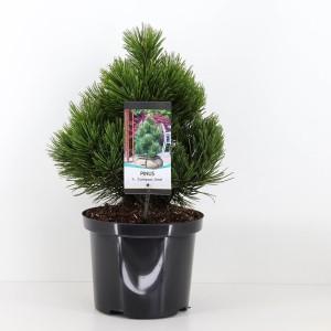 Pinus heldreichii 'Compact Gem'