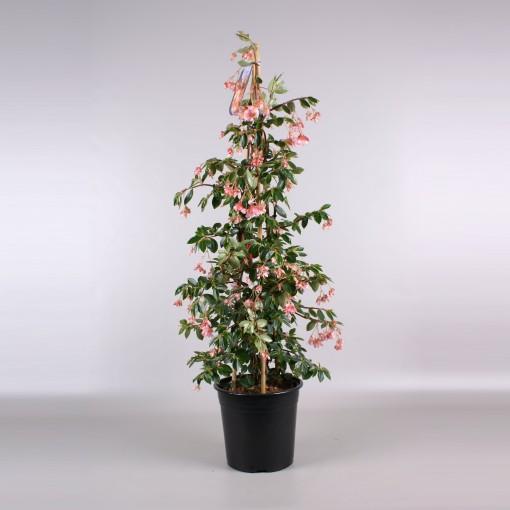 Begonia fuchsioides MIX (Gebr. Seuren Rozenkwekerijen BV)
