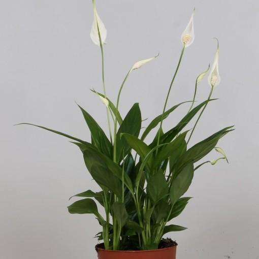 Spathiphyllum 'Korto' (Groot BV, Kwekerij J. de)