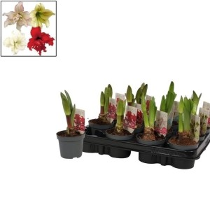 Hippeastrum COLIBRI MIX (Vreugdenhil Bulbs & Plants)