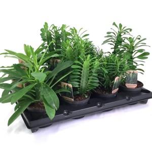 Euphorbia MIX