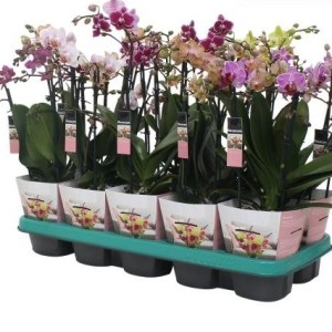 Phalaenopsis MULTIFLORA MIX