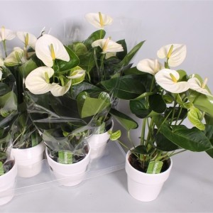 Anthurium SIERRA WHITE (Postplants)