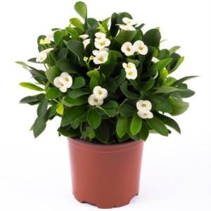 Euphorbia 'Helena'