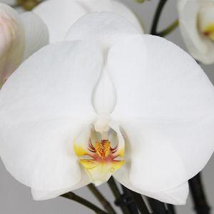 Phalaenopsis FLORICLONE PREMIUM