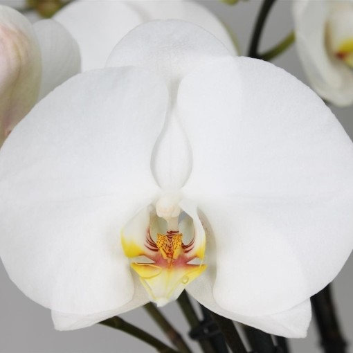 Phalaenopsis FLORICLONE PREMIUM (Leerdam Orchideeën)