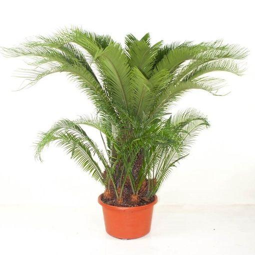 Cycas revoluta (Ammerlaan, The Green Innovater)