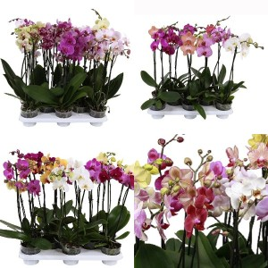 FA Phalaenopsis SELECTION #163