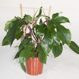 Philodendron squamiferum (Ammerlaan, The Green Innovater)