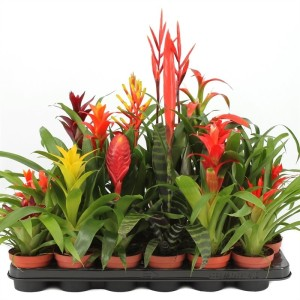 Bromeliads BASIC MIX