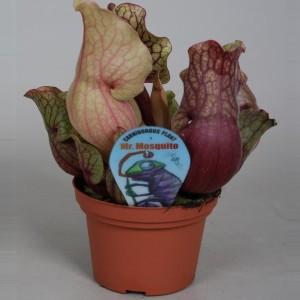 Sarracenia purpurea venosa 'Clementina'