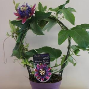 Passiflora 'Marijke' (Plantcare BVBA)