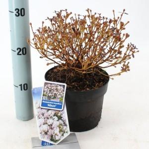 Rhododendron impeditum 'Album' (About Plants Zundert BV)