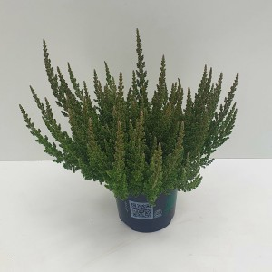 Calluna vulgaris SKYLINE COLOGNE