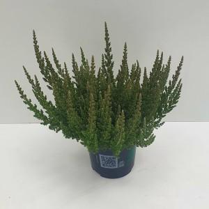 Calluna vulgaris SKYLINE COLOGNE (Experts in Green)