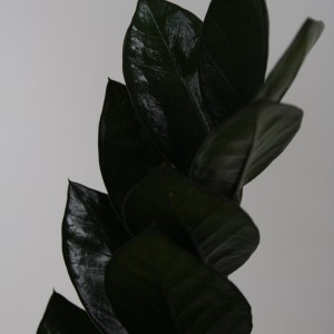 Zamioculcas zamiifolia SUPER NOVA (Vireõ Plant Sales)