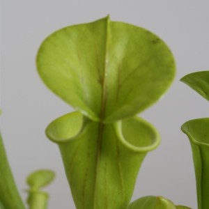 Sarracenia flava (Stricker Plants)