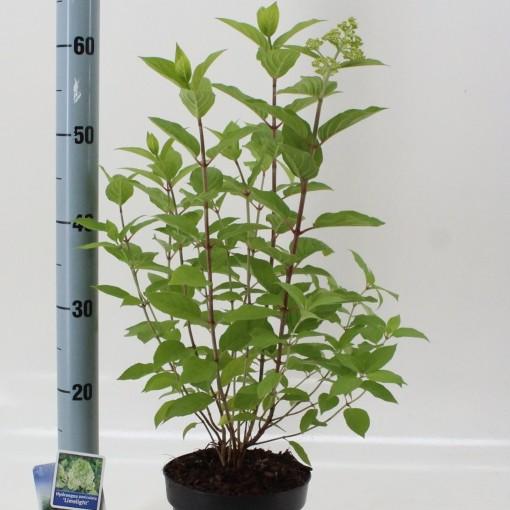 Hydrangea paniculata 'Limelight' (About Plants Zundert BV)