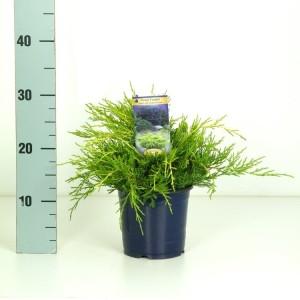 Juniperus x pfitzeriana 'Gold Coast' (Kwekerij Vredebest)