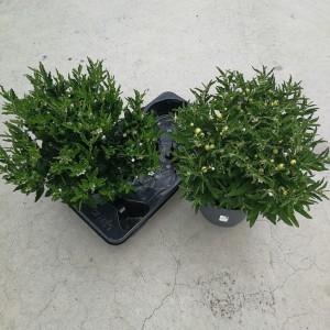 Solanum pseudocapsicum 'Jupiter'