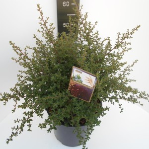 Ceanothus 'Julia Phelps' (Asra Plant)