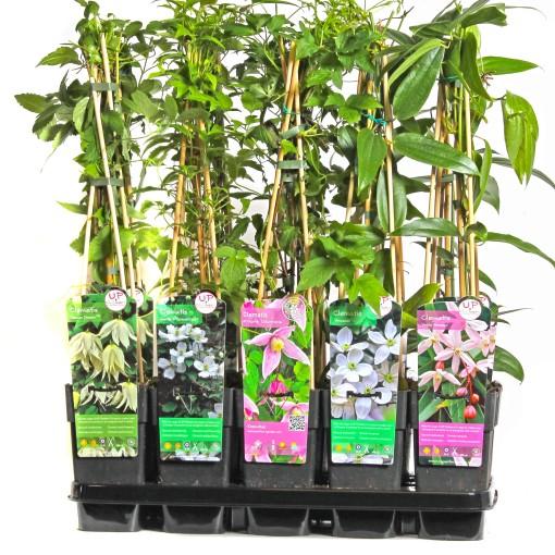 Clematis MIX (Hoogeveen Plants)
