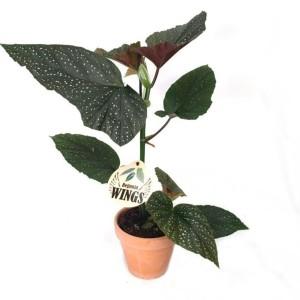 Begonia 'Corallina'