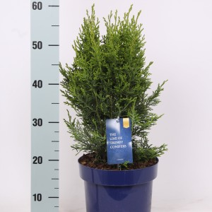 Chamaecyparis lawsoniana 'Robusta'