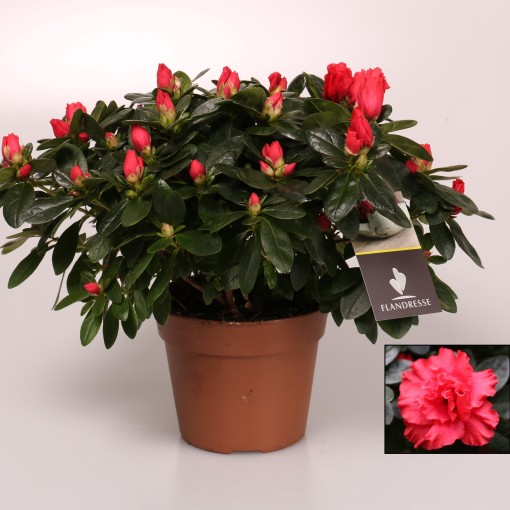 Rhododendron 'Jimmy' (FlorAmor)