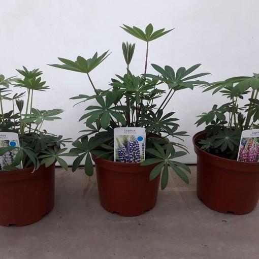 Lupinus 'Russell Hybrids MIX' (De Deckers)