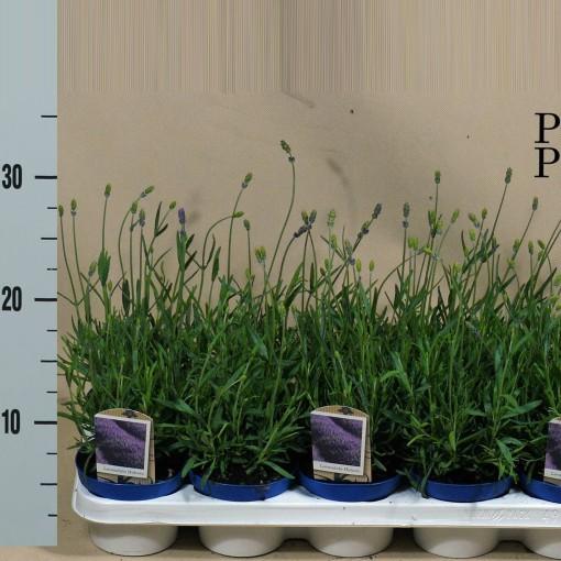 Lavandula angustifolia 'Hidcote' (Kwekerij den Deyl)