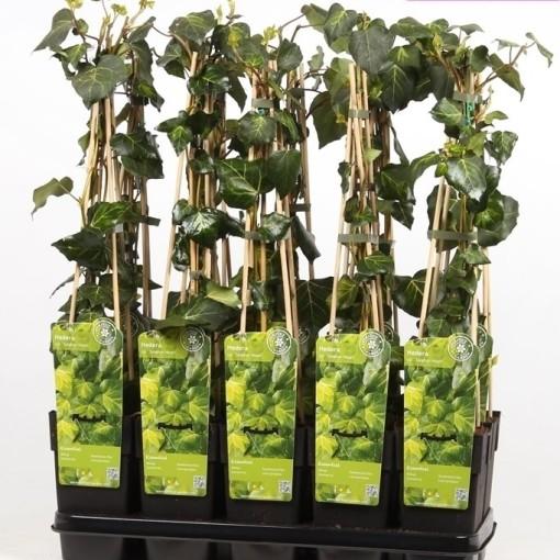 Hedera colchica 'Sulphur Heart' (Hoogeveen Plants)