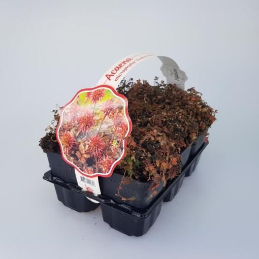 Acaena microphylla 'Kupferteppich' (Sneijers Boomkwekerij)