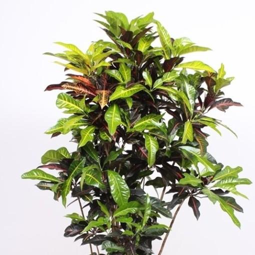 Codiaeum variegatum 'Excellent' (Fachjan)