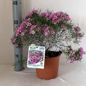 Chamelaucium 'Raspberry Ripple'