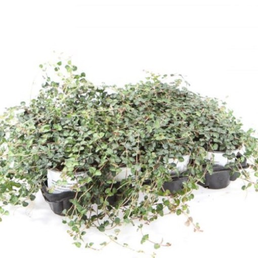 Mitchella repens (Experts in Green)