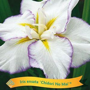 Iris ensata MIX (Griffioen, Gebr.)